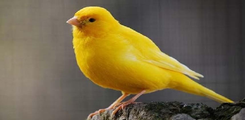 صوت عصافير